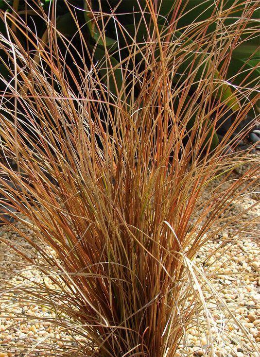 Carex común. Plantas vivaces para crear jardines sostenibles en toda España.