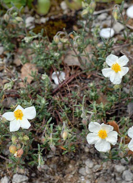 Perdiguera. Plantas vivaces para crear tu jardin