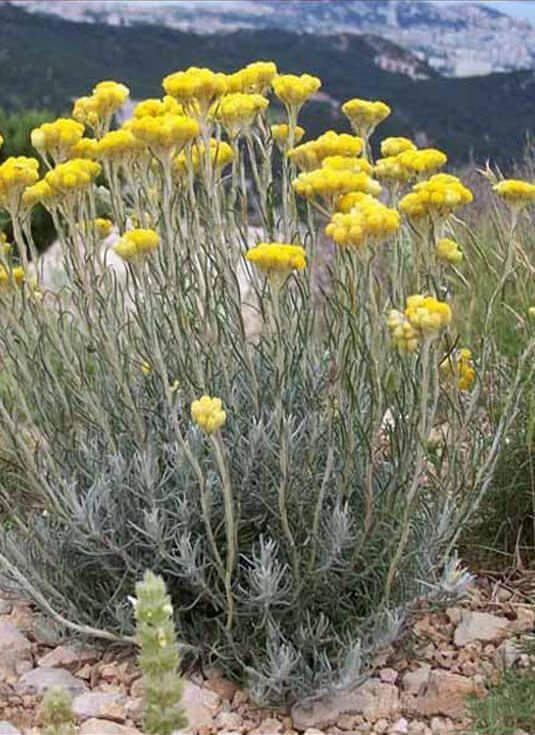 CURRY Plantas para macizos y jardines secos