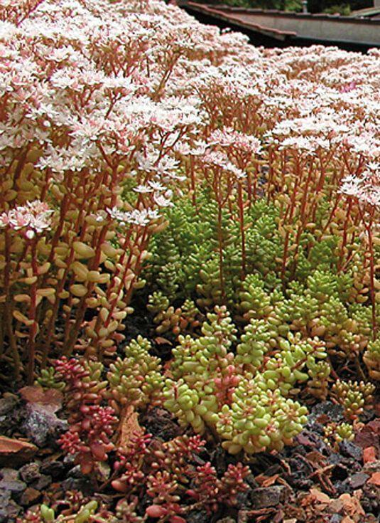 AMOR DEL CAMPO Comprar plantas vivaces en Madrid