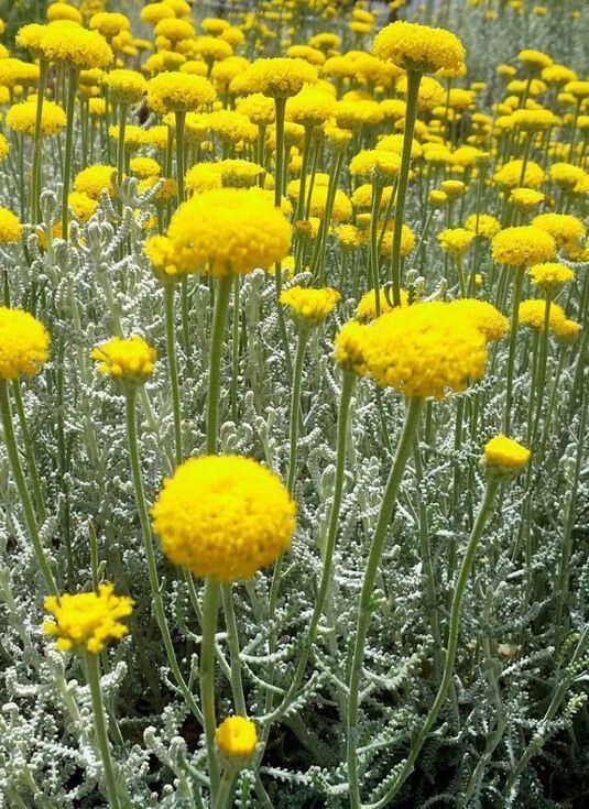 SANTOLINA comprar plantas vivaces en Madrid