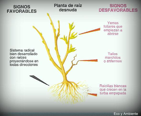 Plantar a raíz desnuda