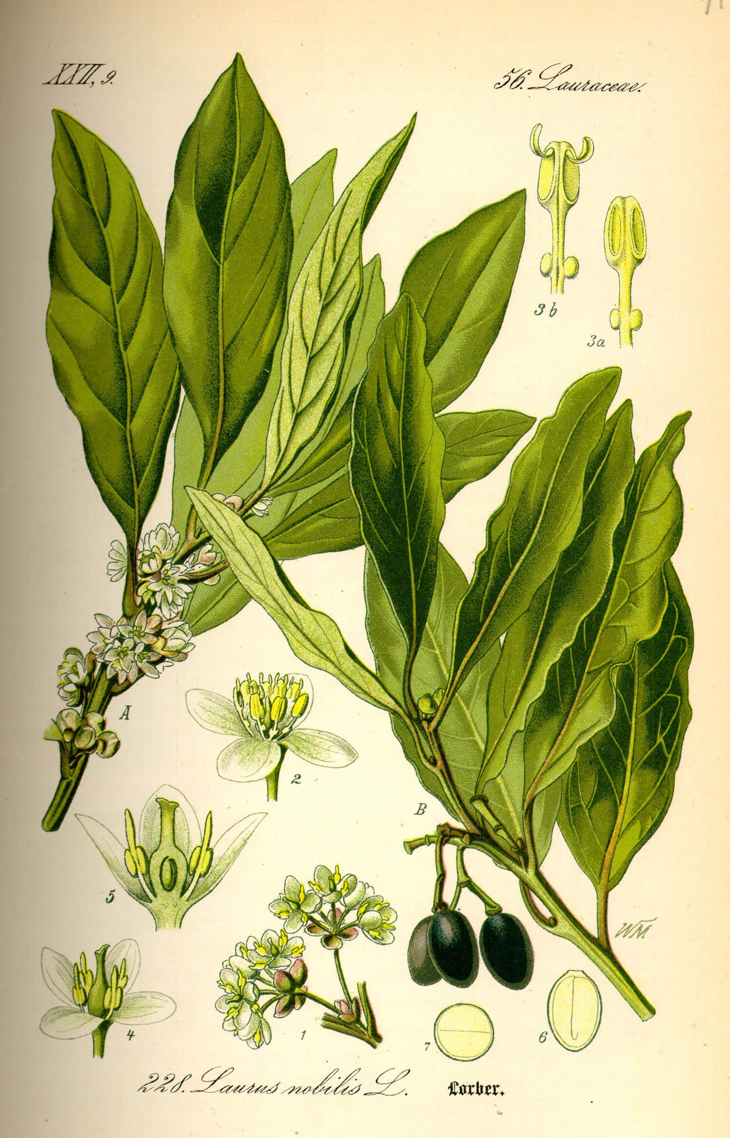 laurel, laurus nobilis